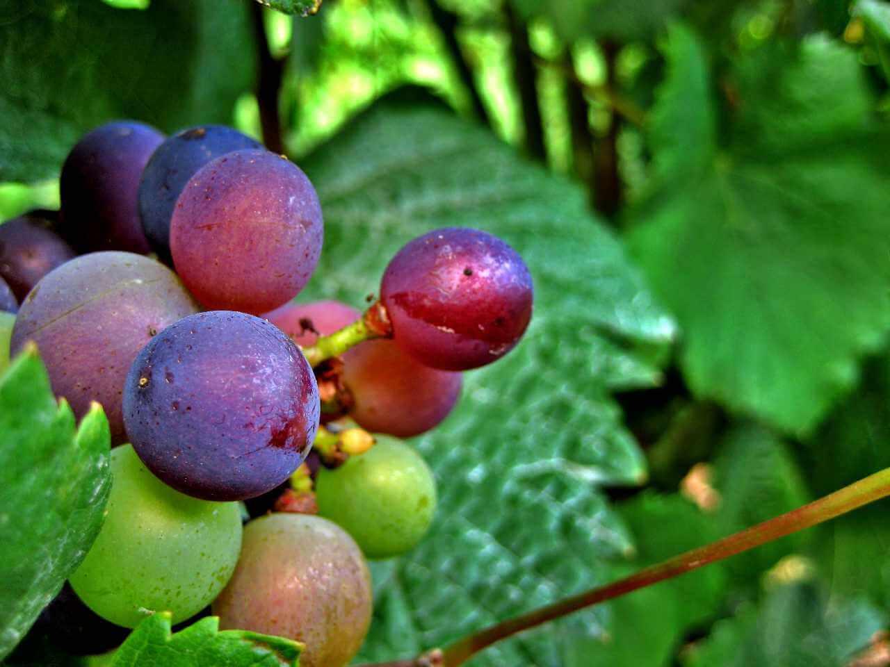 druiven soorten